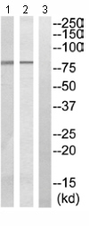 Western blot - Zeta Opioid Receptor antibody (ab110527)