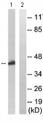 Western blot - OR52K1 antibody (ab110601)