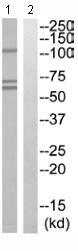 Western blot - IRTA2 antibody (ab110603)