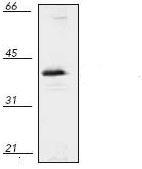 Western blot - MEK6 antibody (ab110629)