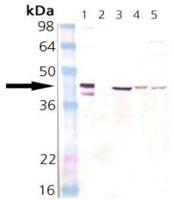 Western blot - Hsp40 antibody (ab110631)