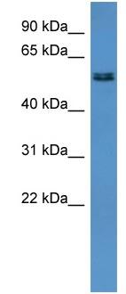 Western blot - ALG8 antibody (ab110700)