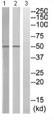 Western blot - KIR2.3 antibody (ab110701)