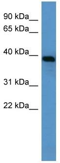 Western blot - Alpha 1 microglobulin antibody (ab110707)