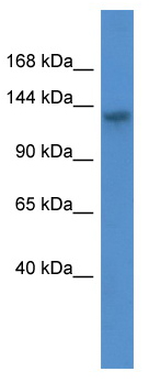 Western blot - ATP11C antibody (ab110710)