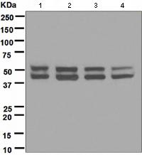 Western blot - JNK1 antibody [EPR140(2)] (ab110724)