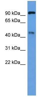 Western blot - ECE2 antibody (ab110725)