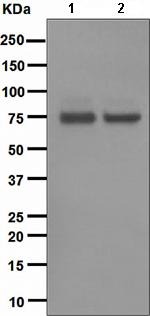 Western blot - PKC theta antibody [EPR1487(2)] (ab110728)