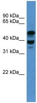 Western blot - ASCC1 antibody (ab110735)