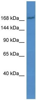 Western blot - MRP2 antibody (ab110740)