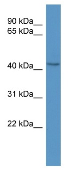 Western blot - BCAT1 antibody (ab110761)