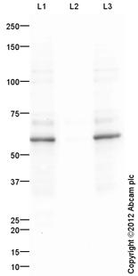 Western blot - Anti-Src (phospho Y418) antibody (ab110777)