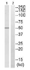 Western blot - RBM34 antibody (ab110859)