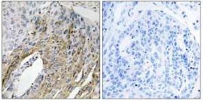 Western blot - LONP2 antibody (ab110924)