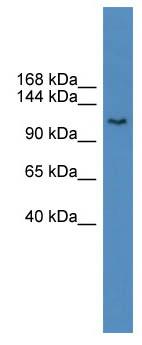 Western blot - BTF antibody (ab110926)