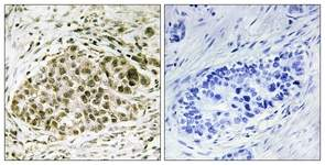 Immunohistochemistry (Formalin/PFA-fixed paraffin-embedded sections) - Lyl1 antibody (ab111067)