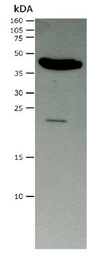 Western blot - Retinal S antigen antibody [PDS1] (ab111108)