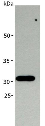 Western blot - PAF49 antibody [MA34] (ab111161)