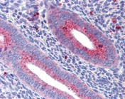 Immunohistochemistry (Formalin/PFA-fixed paraffin-embedded sections) - Mitofusin 1 antibody (ab111271)