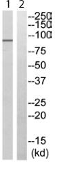 Western blot - USP45 antibody (ab111340)
