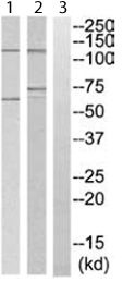 Western blot - SNAP25 Interacting Protein antibody (ab111343)