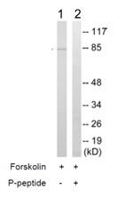 Western blot - p95 NBS1 (phospho S278) antibody (ab111373)