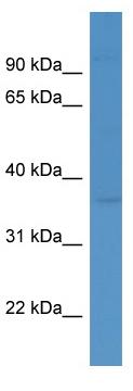 Western blot - HLF antibody (ab111430)