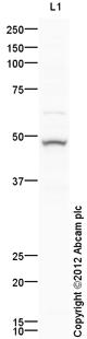 Western blot - Anti-Cytokeratin 15 antibody (ab111448)