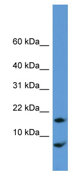 Western blot - CNIH antibody (ab111476)