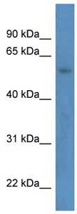 Western blot - ZNF692 antibody (ab111512)