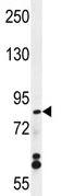 Western blot - WDR27 antibody (ab111525)