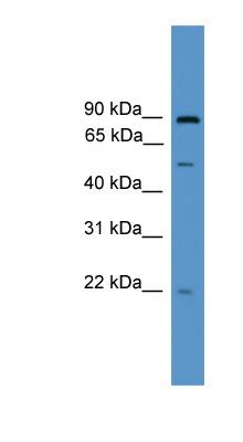 Western blot - OAZ3 antibody (ab111558)