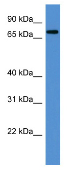 Western blot - ANGEL1 antibody (ab111560)