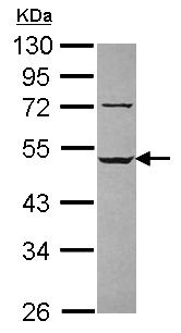 Western blot - LILRA3 antibody (ab111562)