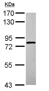Western blot - STRBP antibody (ab111567)