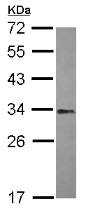 Western blot - NFYB antibody (ab111577)