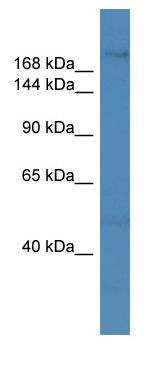 Western blot - ZNF142 antibody (ab111595)