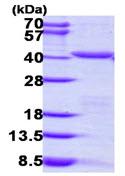 SDS-PAGE - PEX19 protein (ab111623)