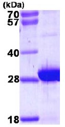 SDS-PAGE - MLC1SA protein (ab111637)