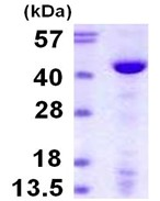 SDS-PAGE - DNA Polymerase beta protein (ab111641)