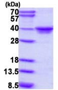 SDS-PAGE - MAF1 protein (ab111643)