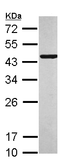 Western blot - C10orf93 antibody (ab111682)