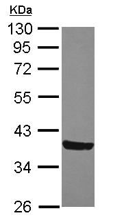 Western blot - MOSC2 antibody (ab111685)