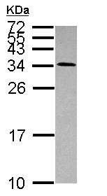 Western blot - Use1 antibody (ab111690)