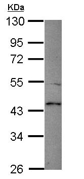 Western blot - TMPRSS5 antibody (ab111695)