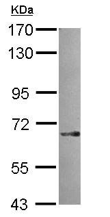 Western blot - SNX18 antibody (ab111702)