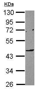 Western blot - LILRA4 antibody (ab111703)