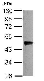 Western blot - OLFML3 antibody (ab111712)
