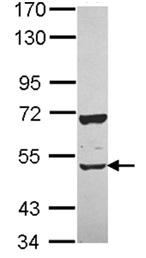 Western blot - Elav-type RNA-binding protein ETR3 antibody (ab111728)