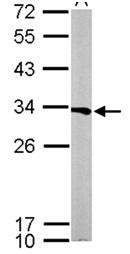 Western blot - ATP6V1E1 antibody (ab111733)